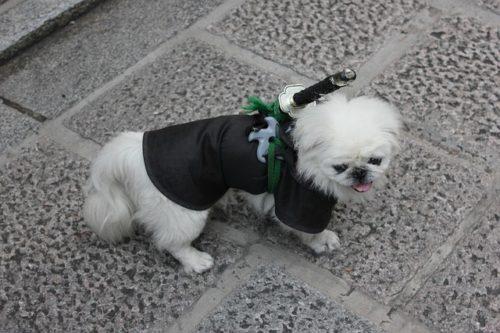 散歩中の白い犬